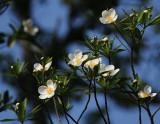 Loblolly Bay Tree Blossoms