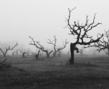 Fog Over Old Vineyard