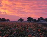 Pumpkin-Harvest-5(unaltered colors)