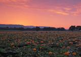 Pumpkin-Harvest-3 (unaltered colors)