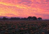 Pumpkin-Harvest-6(unaltered colors)