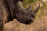 White Rhino 5
