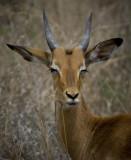 Kruger35