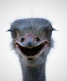 Ostrich Glare2, South Africa