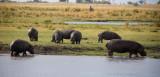 Botswana, Chobe NP Hippo 3