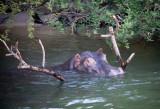Zambizi, Hippo