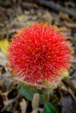 Flower on Livingstone Isl, Zambia