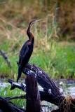 Chobe NP African Darter