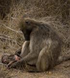 Baboon Mom
