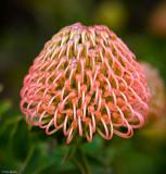 Protea 1 of 1.jpg