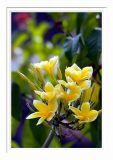 Yellow Kamboja