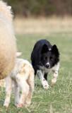 Bringing in a ewe and newborn lamb