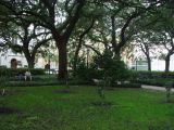 THE STATELY LIVE OAKS OF SAVANNAH