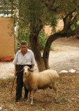 portret of man with sheep under olive  tree