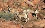 Young Desert Bighorn Sheep