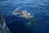 Humpback Whale mugs a whale watching boat
