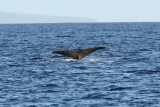 Humpback Whale Fluke Up dive 4 of 5