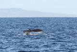 Humpback Whale Fluke Up dive 5 of 5