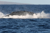 Humpback Whale Breach 2 of 2