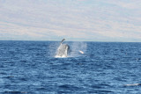 Humpback Whale Breach 1 of 5