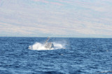 Humpback Whale Breach 2 of 5