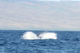 Humpback Whale Breach 3 of 5