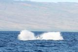 Humpback Whale Breach 4 of 5