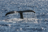 Humpback Whale Fluke 2 of 3