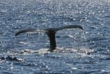 Humpback Whale Fluke 3 of 3