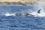 Humpback Whale Peduncle Throw 3 of 4