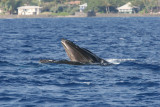 Humpback Whale mouth open (very unusual behavior for Maui where they do not feed).  Notice the baleen. 1 of 5
