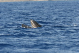 Humpback Whale mouth open (very unusual behavior for Maui where they do not feed).  Notice the baleen. 5 of 5