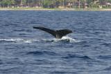 Humpback Whale Fluke 1 of 2