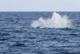Young Humpback Whale Breach