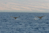 Humpback Whales Double Fluke Dive
