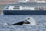 Humpback Whale Tail Slap in front of Holland America Cruise Ship