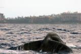 Humpback Whale 1 of 2
