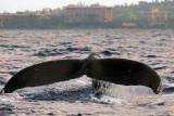 Humpback Whale 2 of 2