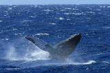 Humpback Whale Breach 1 of 6