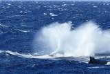 Humpback Whale Breach 5 of 6