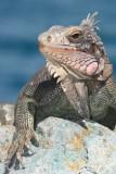 Iguana on St. Thomas.