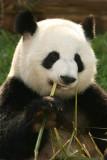 Lun Lun (Mom Panda)
