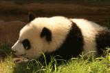 Mei Lan (Baby Girl Panda born September 6, 2006)
