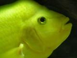Yellow fish / Pez amarillo