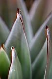 Local flora - Aphanocarpus