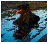 Robin our  Bouvier