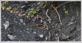 Lezards- Terril Oignies