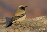 Desert Wheatear (Oenanthe deserti)