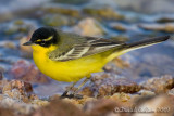 Black-headed Yellow Wagtail (Motacilla flava ssp feldegg 'superciliaris')