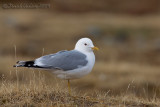Common Gull (Gavina)